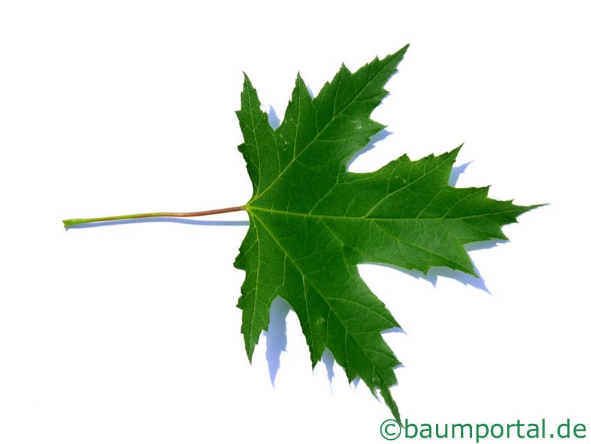 Ahorn Die Blätter Vom Ahorn Baumblaetter